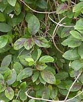 gymnema Sylvestre one of DBCare ingredients known as Sugar Distroyer